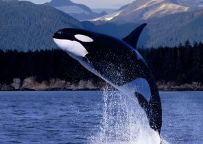 """Search Results for """"killer whale vs great white shark"""