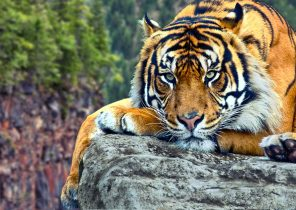 Search Results For Tiger Hd Wallpaper For Mobile Adorable Wallpapers
