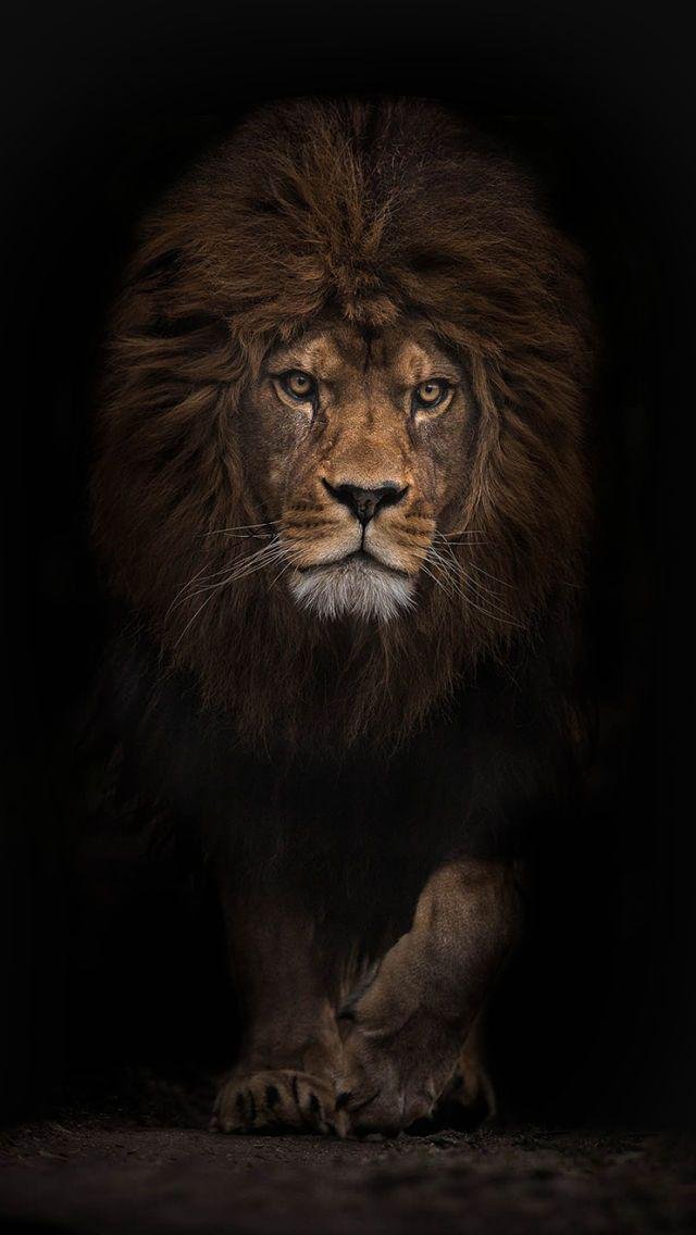 Angry Lion Images Stock Photos Vectors
