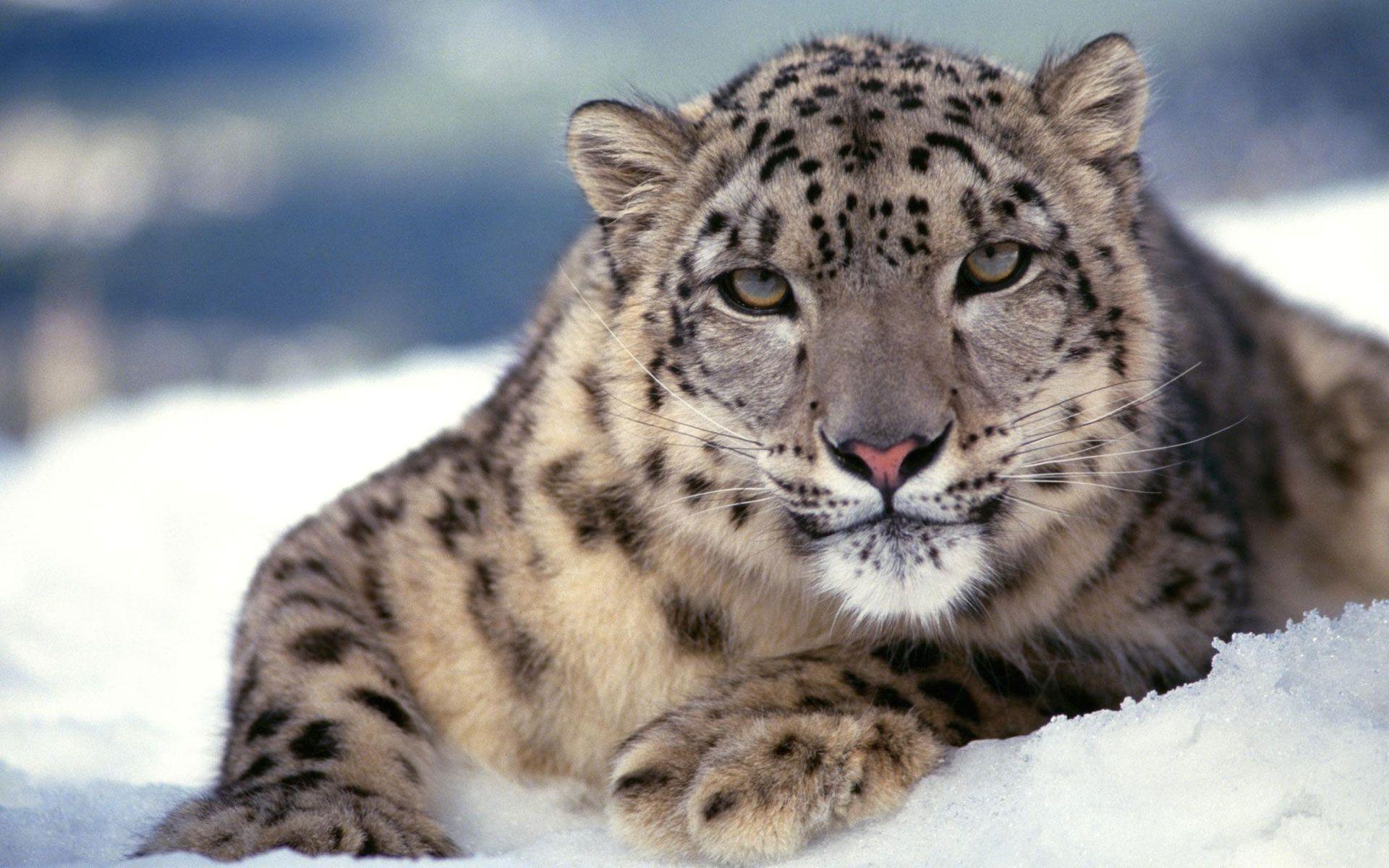 Beautiful Wallpaper Mac Snow Leopard - Apple-Leopard-Wallpapers-042  Image_807359.jpg