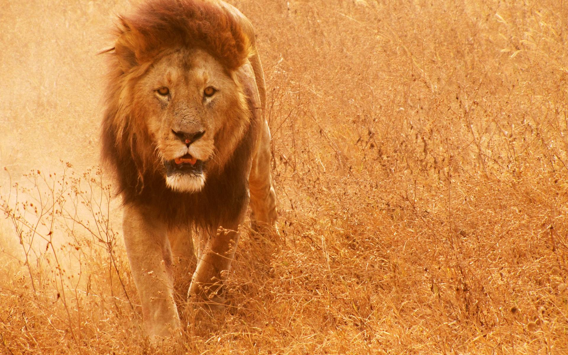 Must see Wallpaper Macbook Lion - Apple-Lion-Wallpapers-006  Collection_278125.jpg