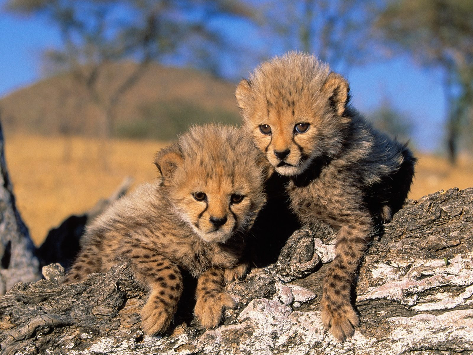 cute baby cheetahs with blue eyes wallpaper baby cheetahs running