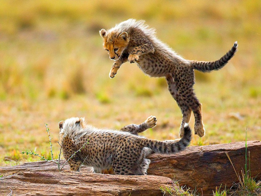 Animals Plannet: Baby cheetahs pictures 1024x768