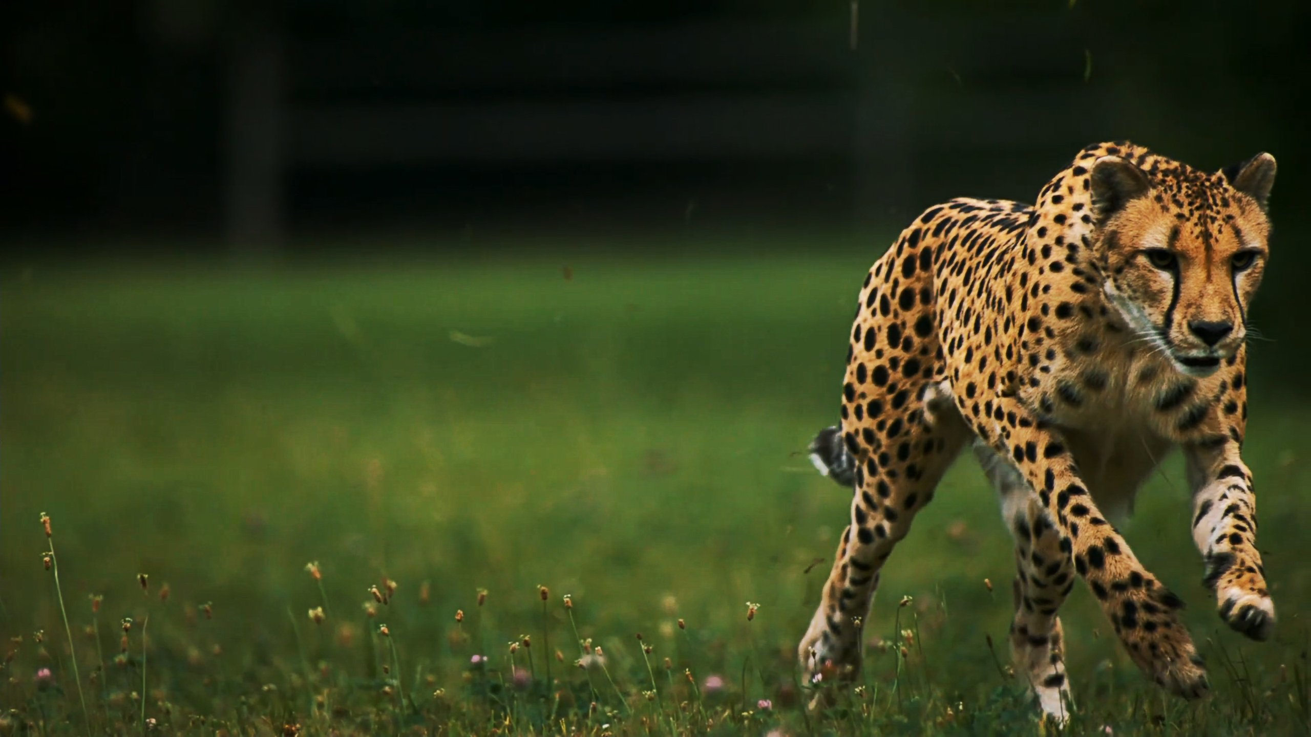 Top Running Cheetah Wallpapers In High Quality GOLDWALL 2560x1440