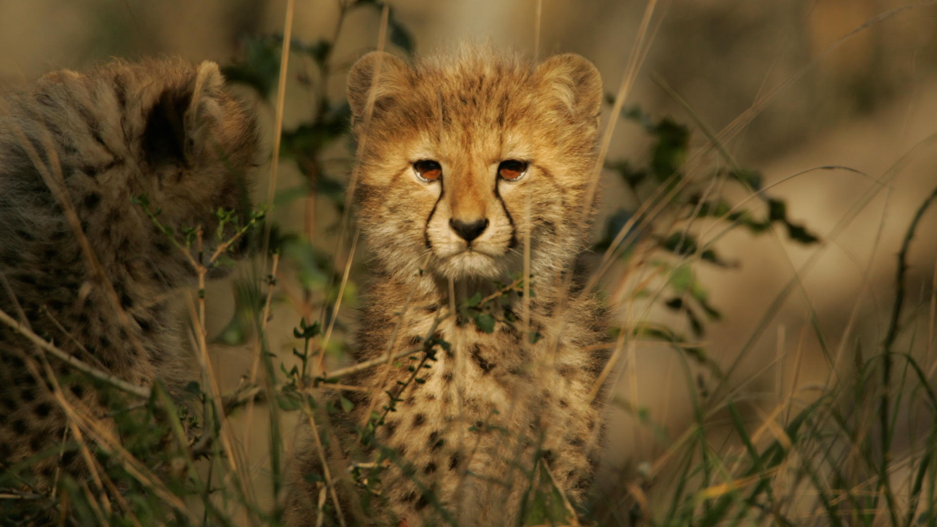 Collection of Cute Cheetah Wallpaper on HDWallpapers 1920x1080