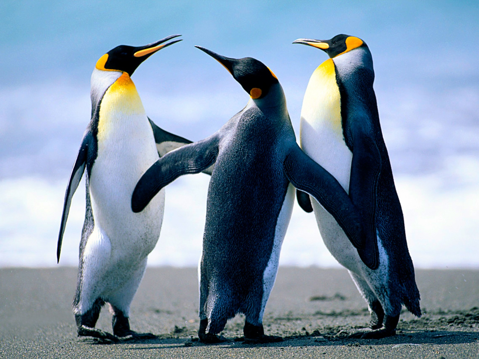 Baby Penguin Wallpaper P Animals Timmatic Cute High Definition For HD 1600x1200