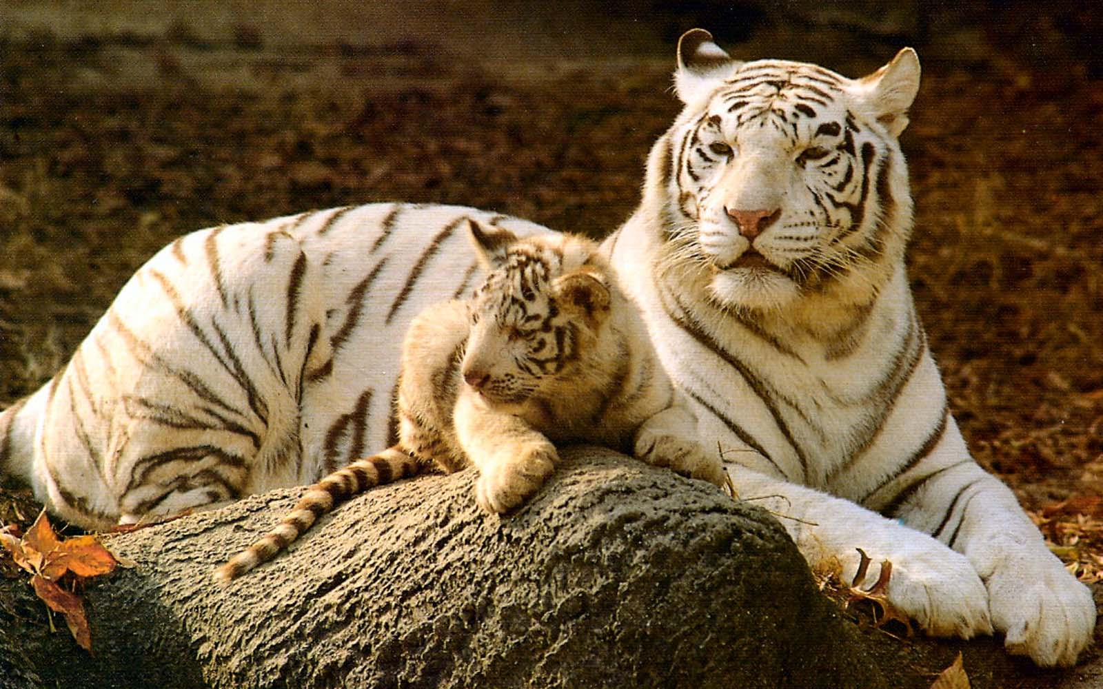 Baby White Tigers For Sale  wallpaper Cute Tiger Wallpapers  Wallpaper  1600x1000