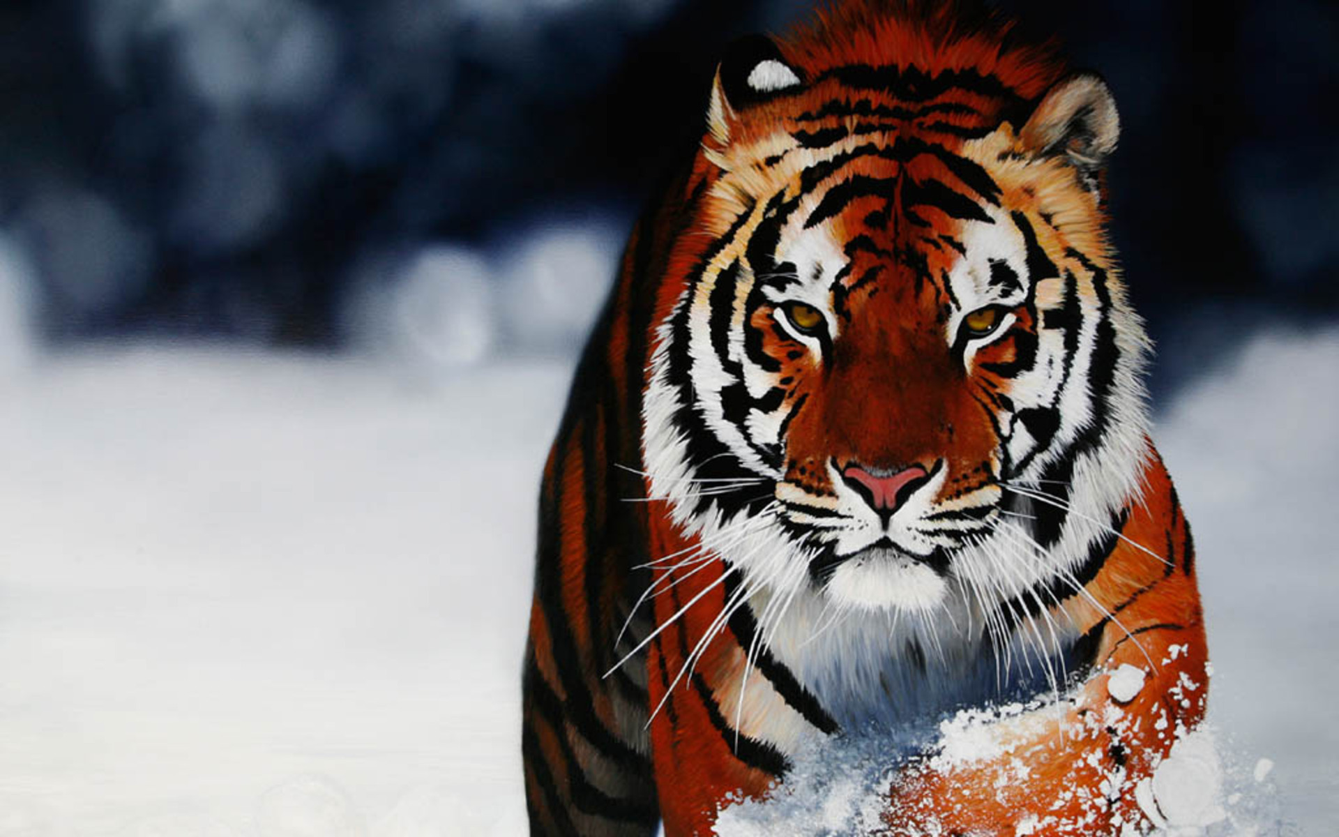 Popular Wallpaper High Quality Tiger - Baby-Tiger-Pictures-Wallpapers-016  Image_964926.jpg