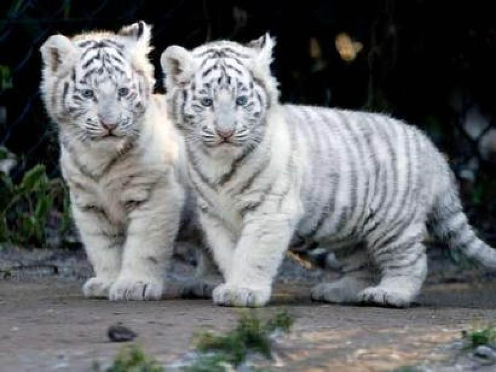 Tigers  High Definition Wallpapers for free Download  Page  1600x1200