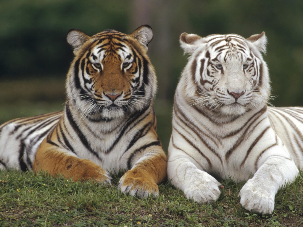 White Tigers Wallpapers Group  1024x768