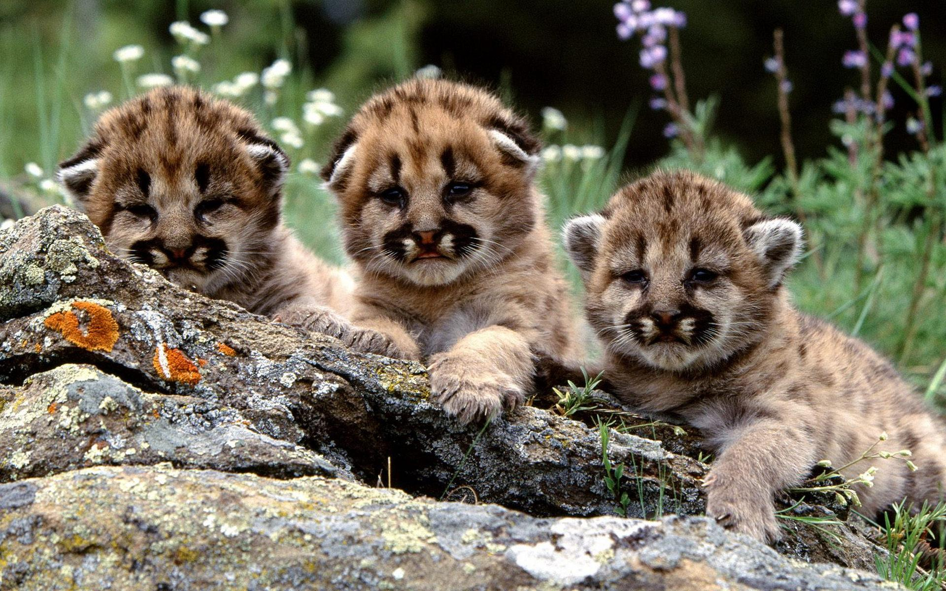 Baby Tiger Cubs  wallpaper Tiger Wallpapers Free Group  1920x1200