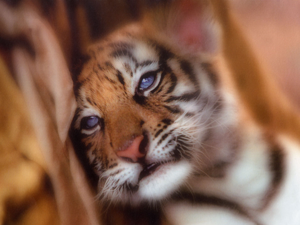 Baby tiger images