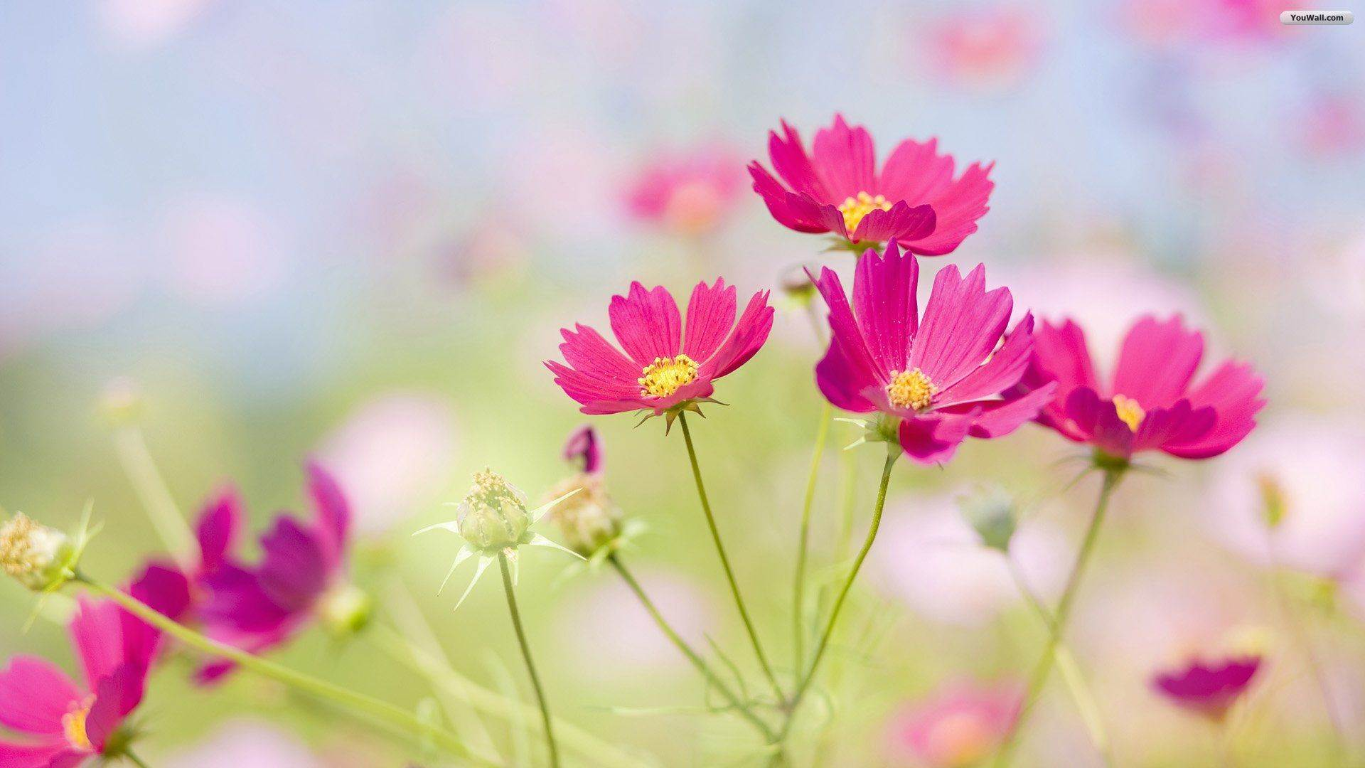 Beautiful Flowers Wallpapers Free Download Group 1920x1080