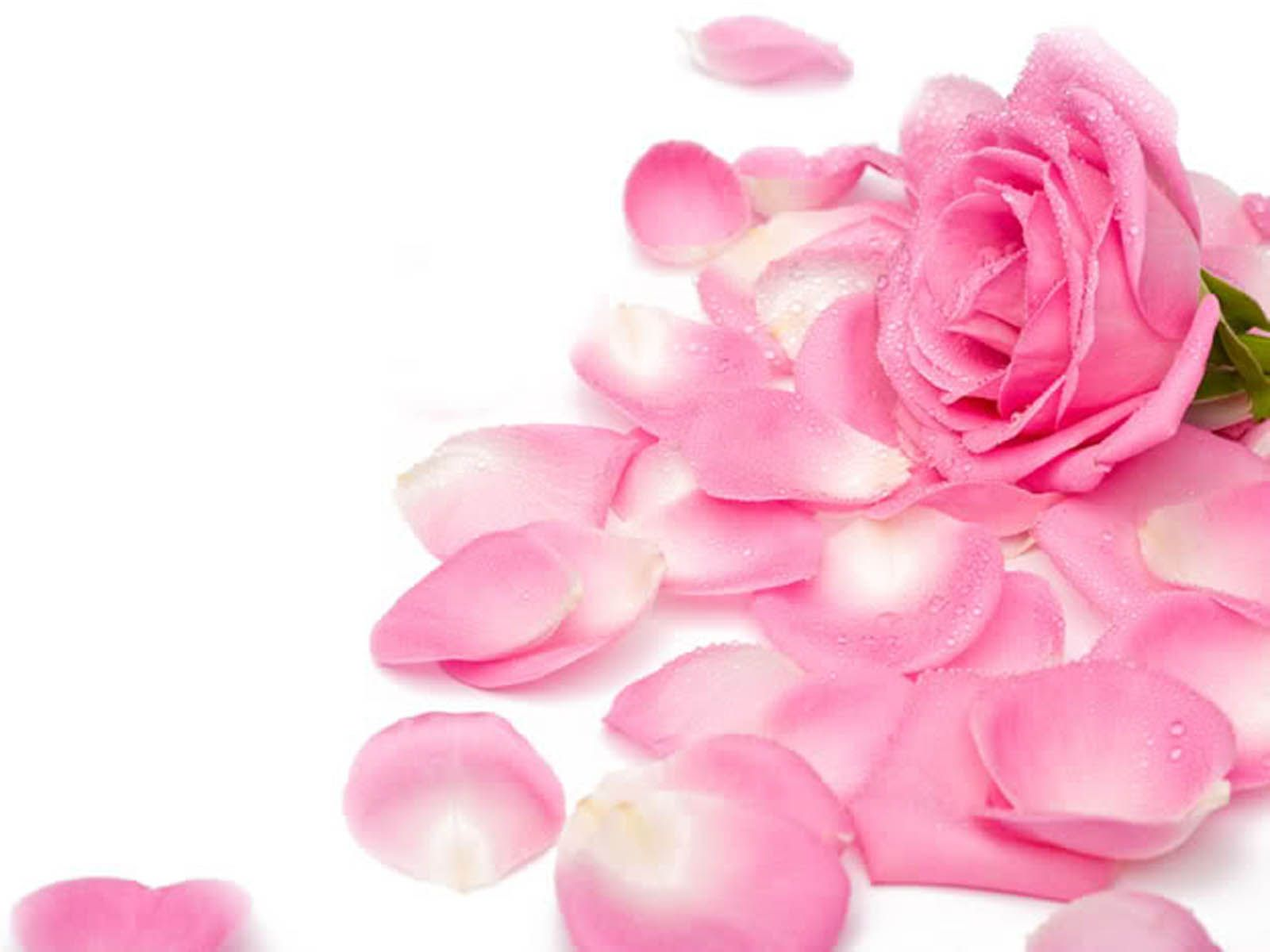 Pink Roses Hd Wallpapers Free Download 1600x1200