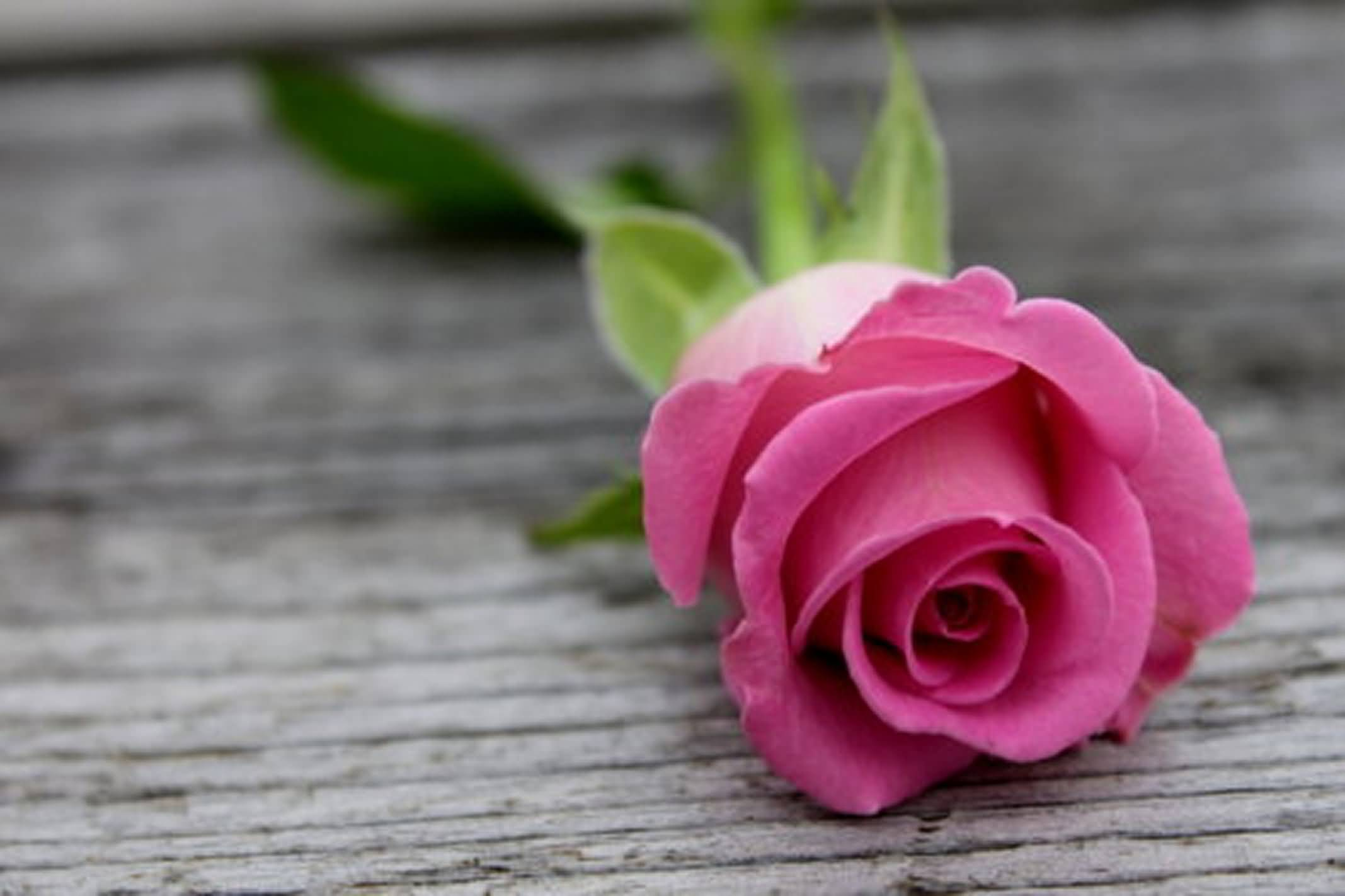 beautiful pink rose flower wallpaper free wallpaper download 2135x1422