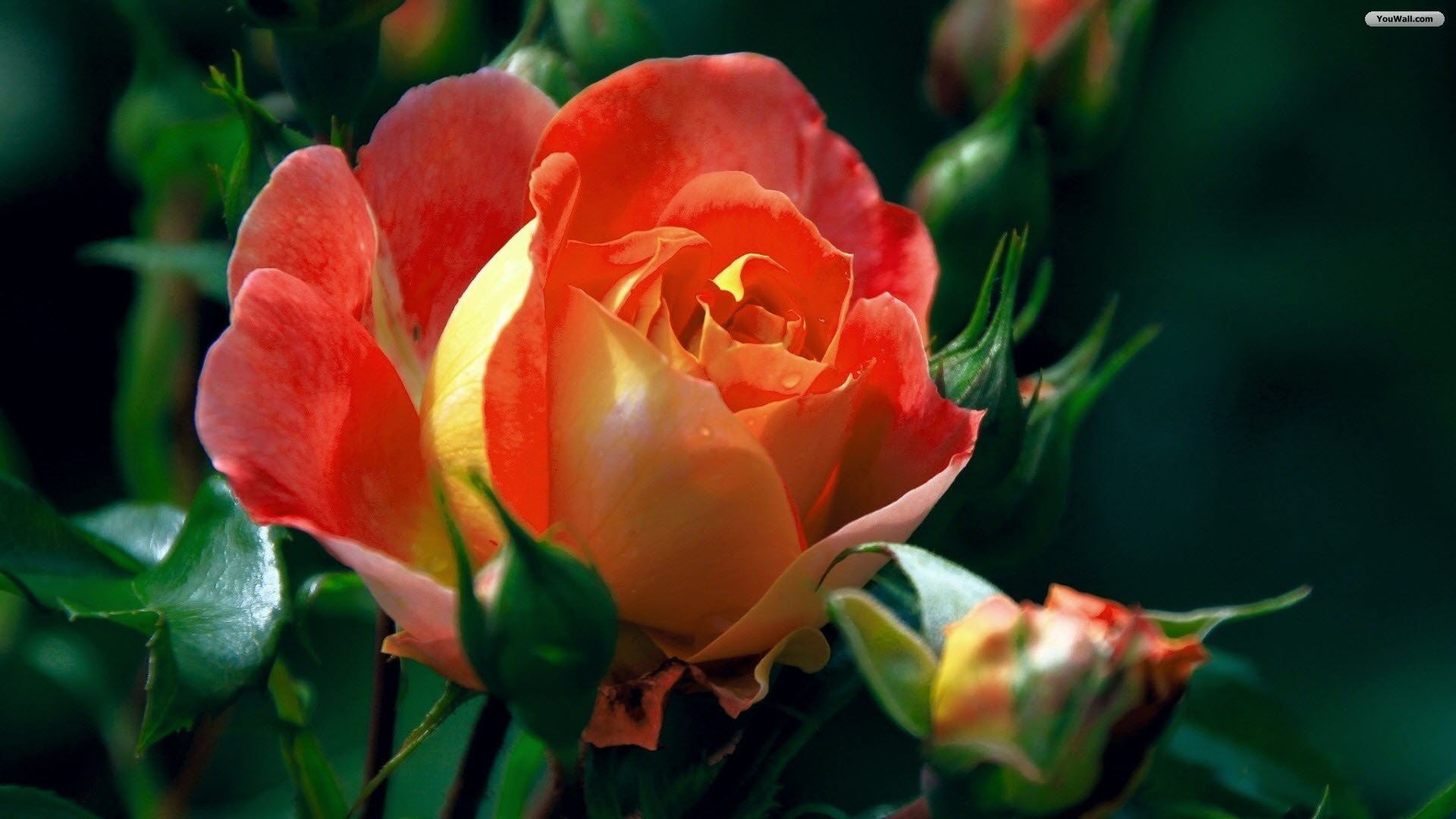 beautiful roses wallpapers , rose flower images, rose pictures 1920x1080