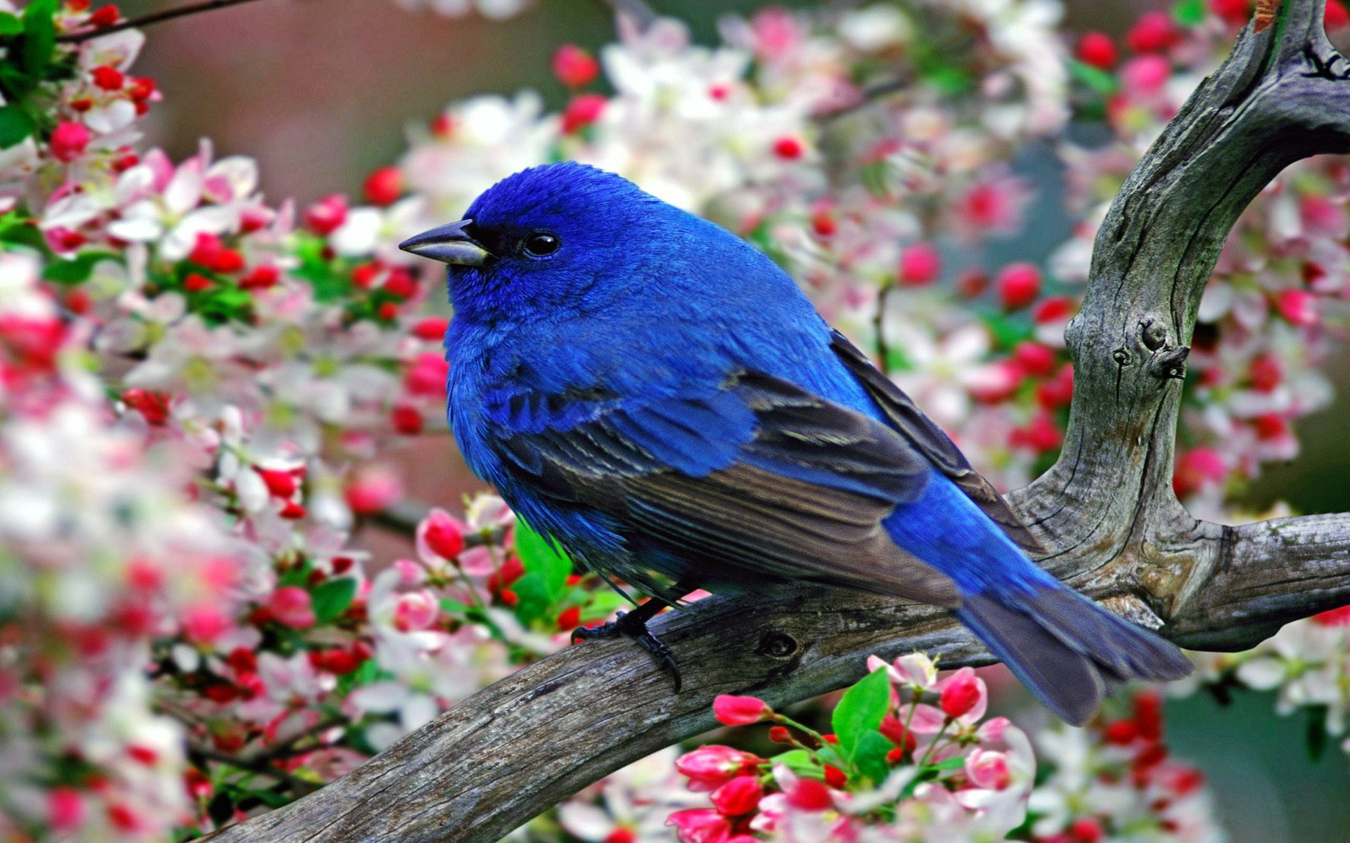 Blue Bird Flying Hd Wallpaper For Desktop Pc Mobile 1920x1200