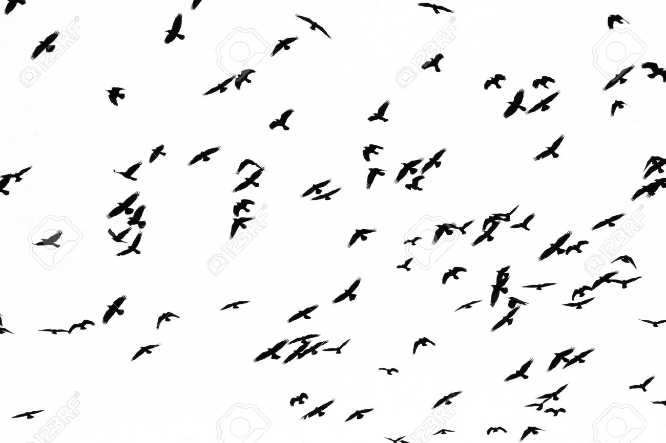 Black Birds Swans White Bird Black Background Wallpaper 1300x866