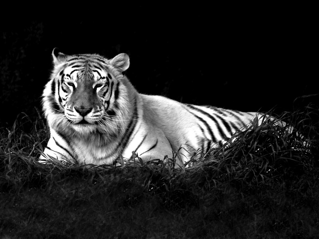 white tiger wallpaper picture : animals wallpaper timmatic free