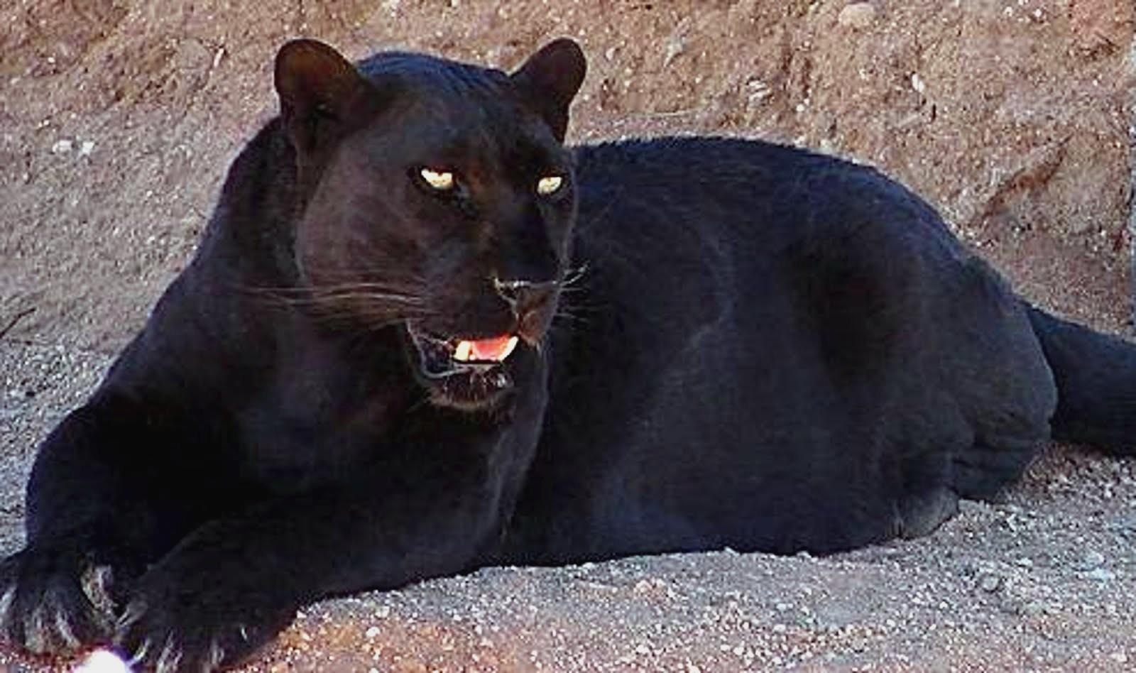 Black Jaguar Wallpapers Desktop Background Cedehm Black Jaguar Blue Eyes Wallpapers Fannone Black Jaguar Blue Eyes Wallpapers Photo Fannone Wallpaper Black Jaguar Car Hd Image P With P Images For Mobile 1600x948