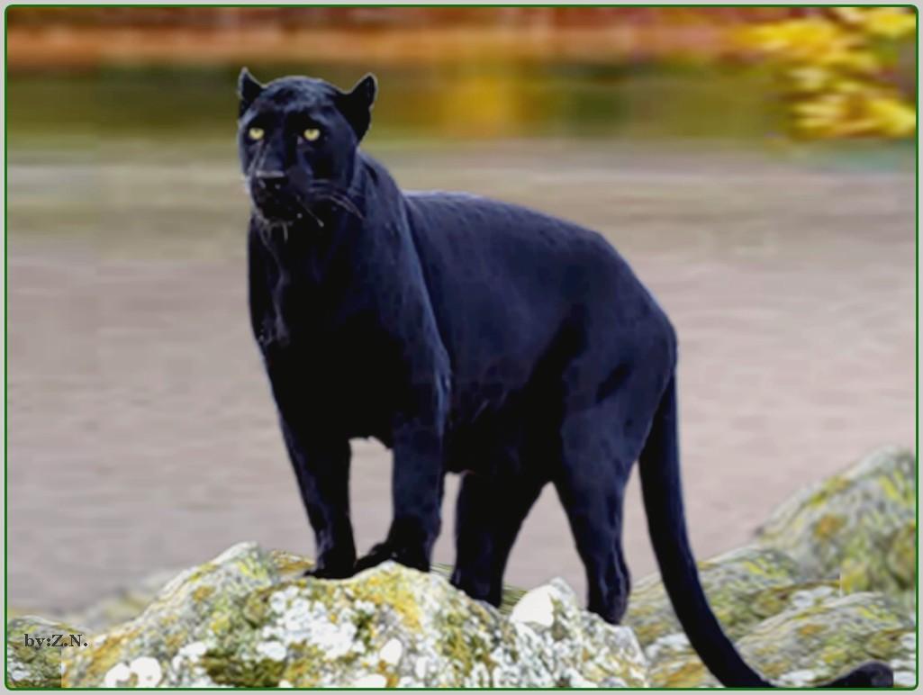 Black jaguar wallpapers hd download 1025x772 voltagebd Images