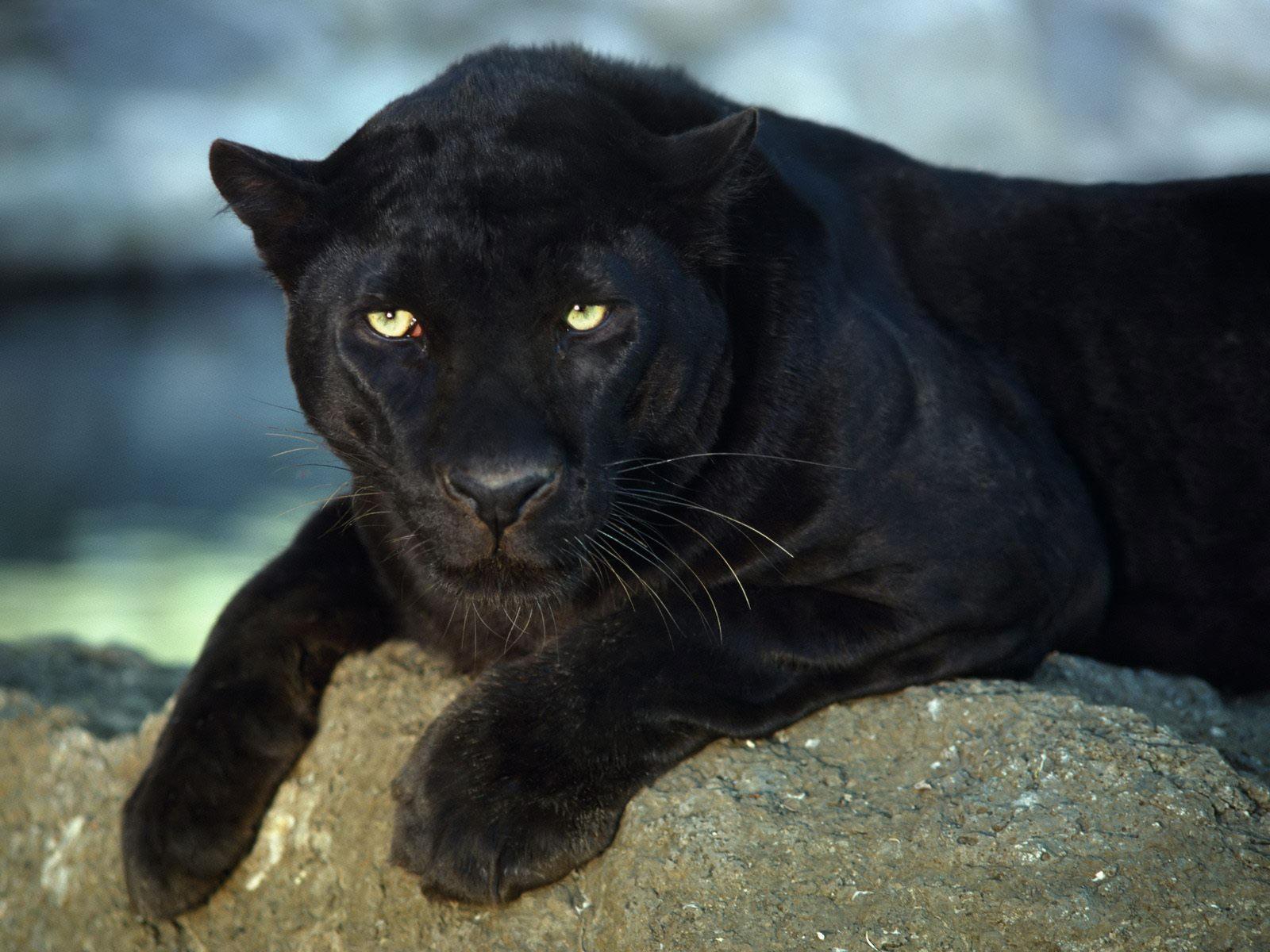 Black jaguar panther wild cat predator baby kitten section hd black jaguar panther wild cat predator baby kitten section hd 1600x1200 voltagebd Images