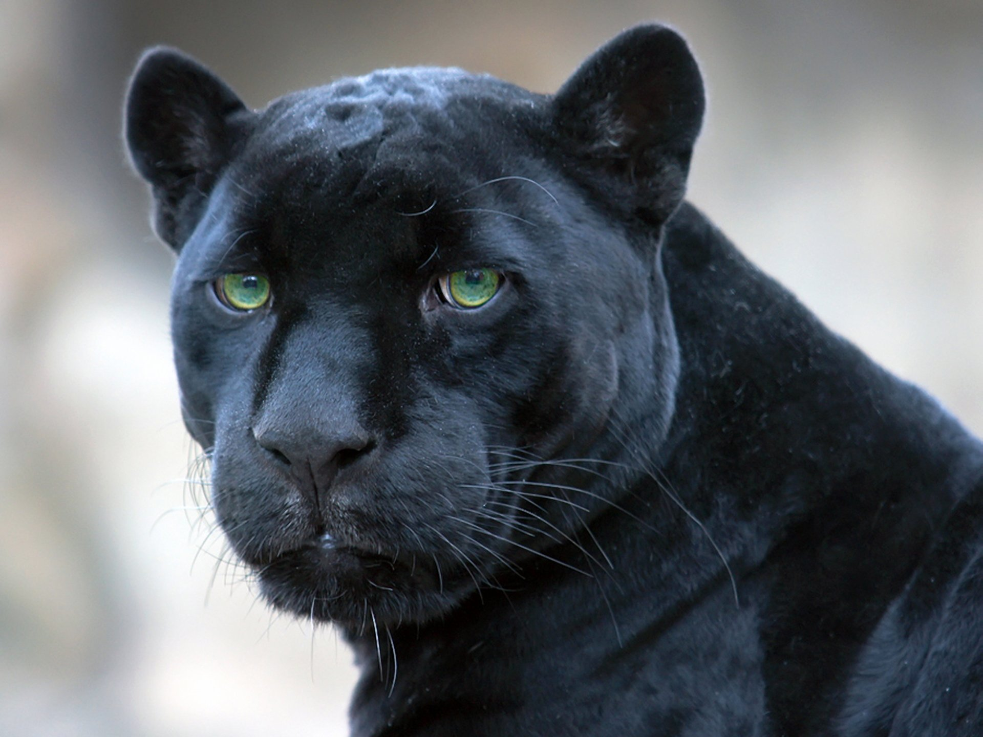 Baby Black Jaguar Wallpaper Black Jaguar Wallpapers Images Animals Wallpaper Timmatic Jaguar Cat Black Blue Bispy Agressive Wallpaper 1920x1440