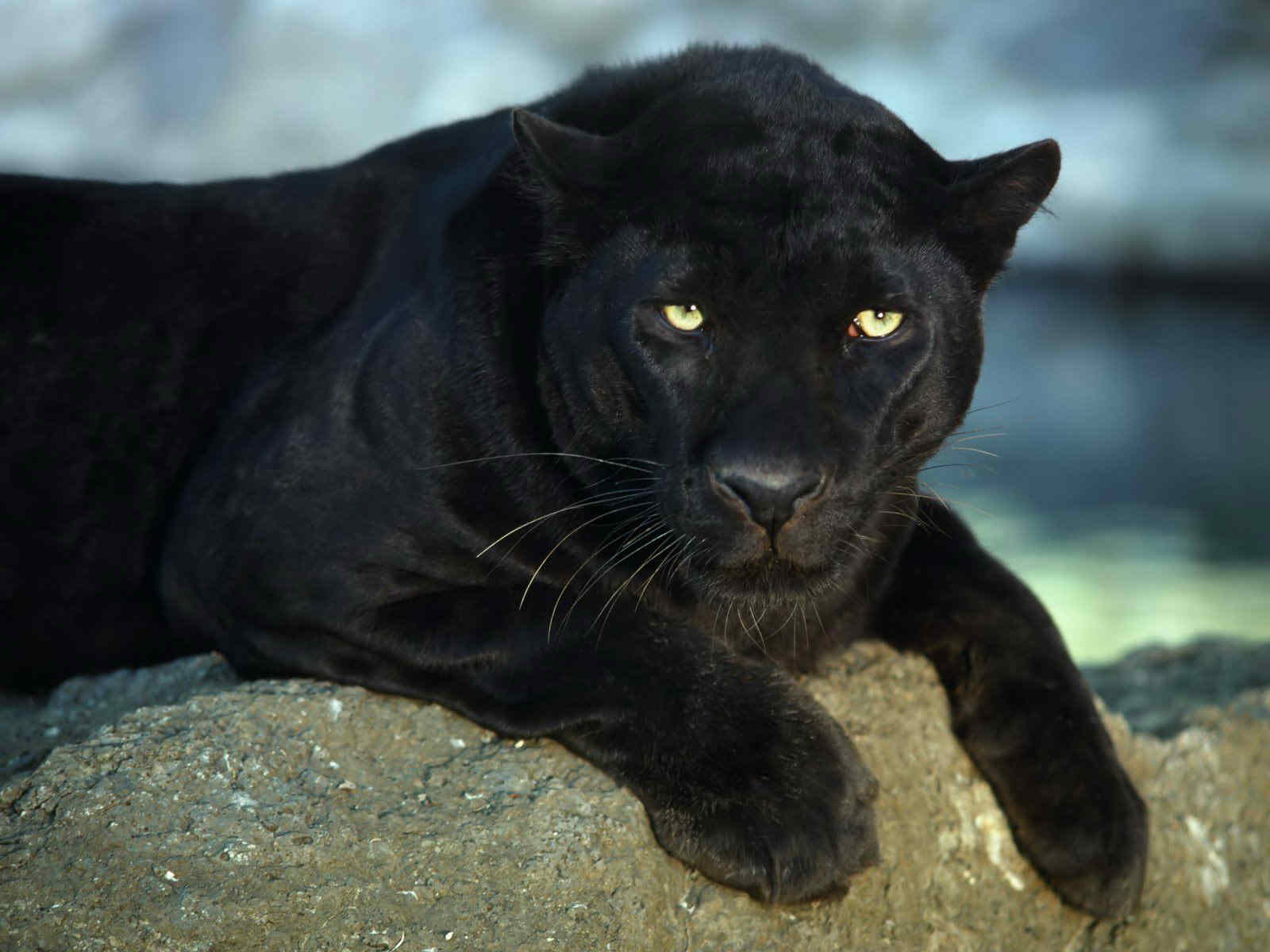 Black Jaguar Wallpaper Hd Best Collection Of Black Leopard 1600x1200