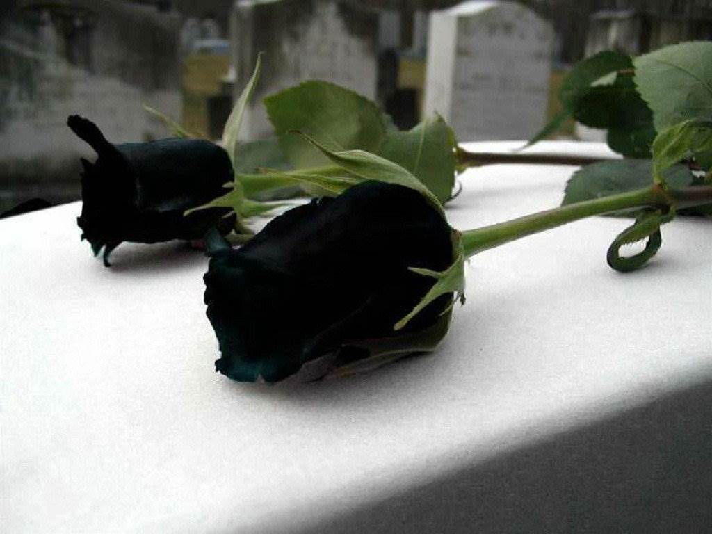 Beautiful Black Roses Hd Wallpapers U Flowers Hd Pictures Hd 1024x768