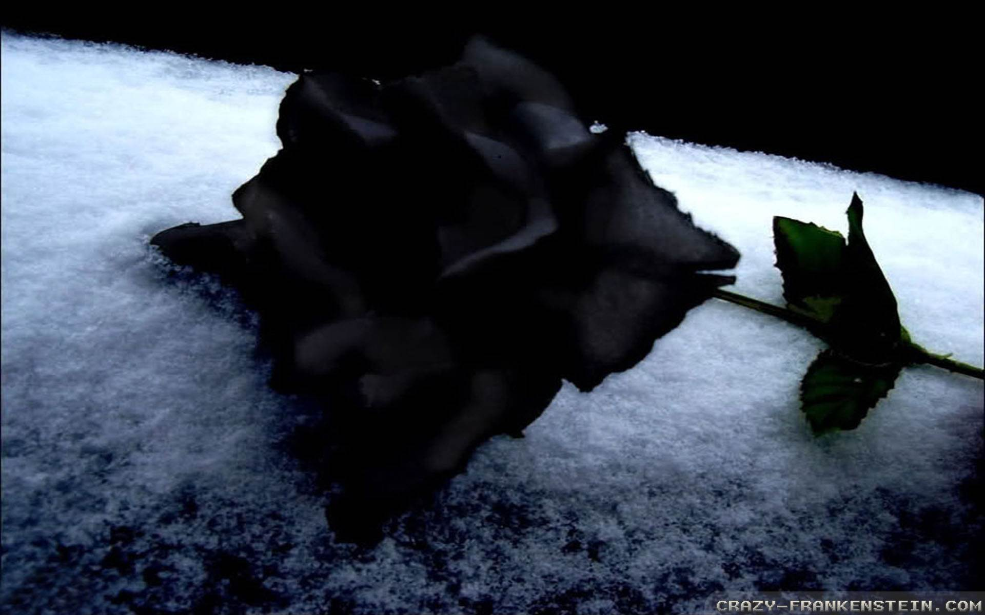 Black Rose Wallpapers HD Pictures  One HD Wallpaper Pictures 1920x1200