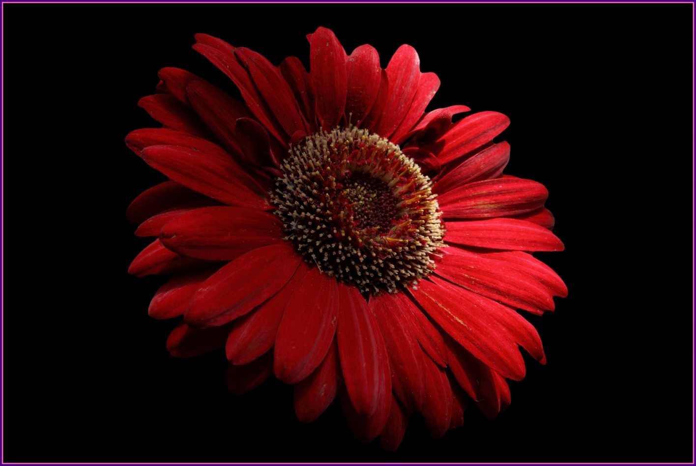 Inspiring Red Daisy Macro On Black Nature By For Flower Wallpaper Uk