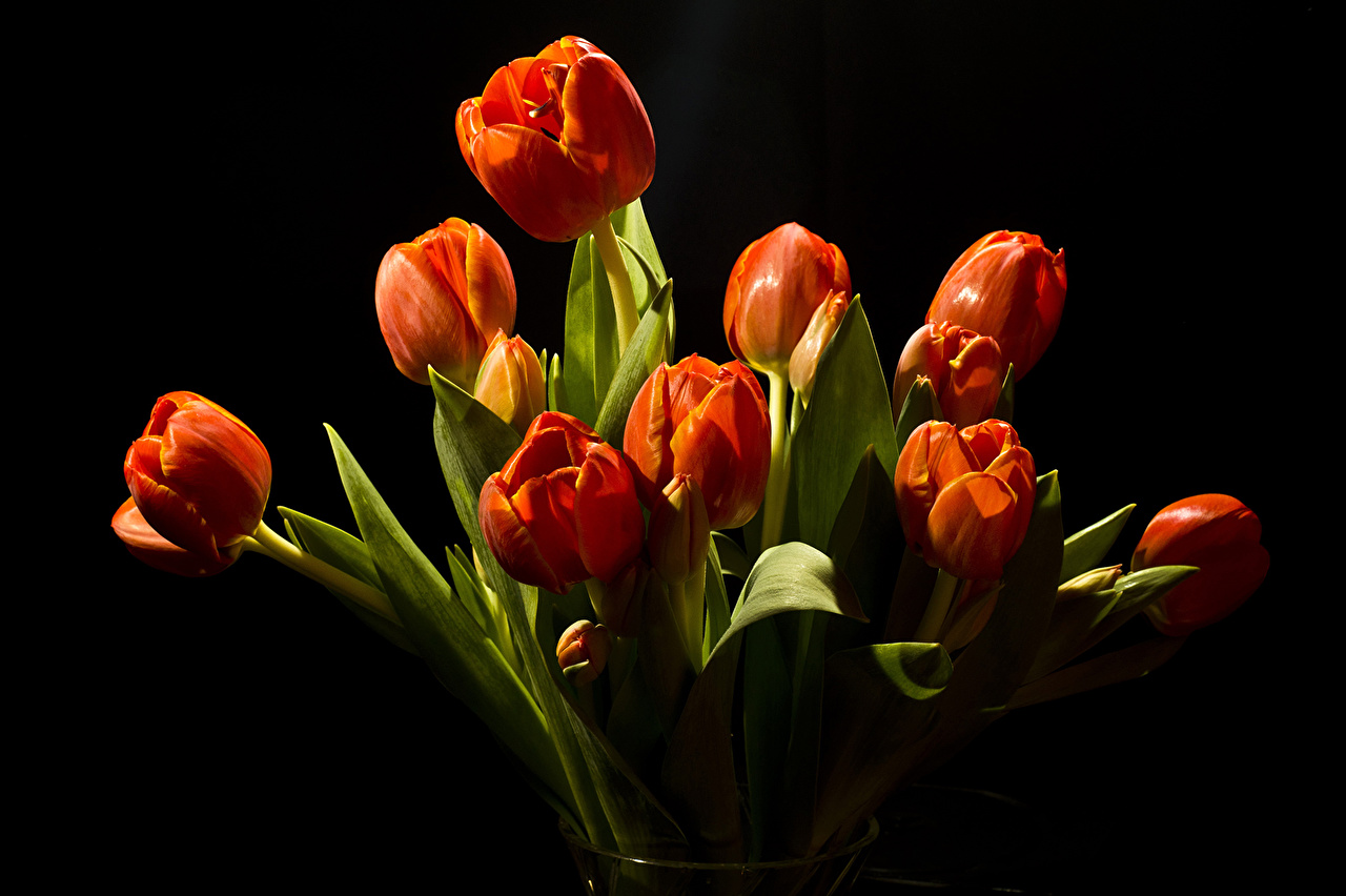 Wallpapers Red Tulips Flowers Black background