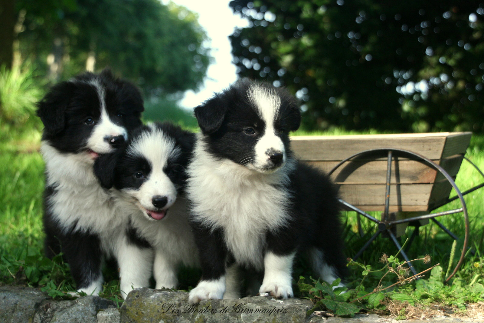 73 border collie hd - photo #6