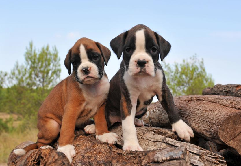 Hd Base Dog Wallpapers Hd Base Boxer Puppy Wallpapers Hd Litle Pups
