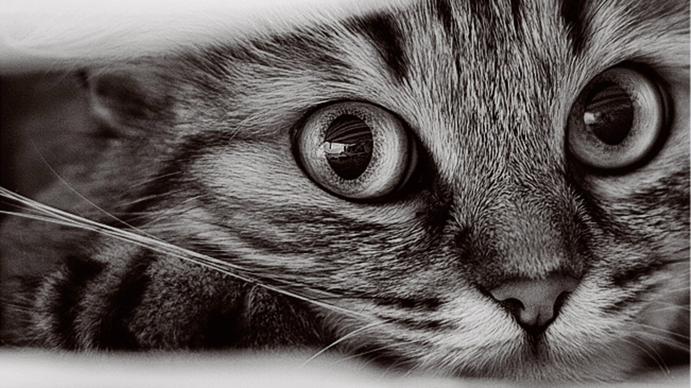 Cat Wallpapers Free 1366x768