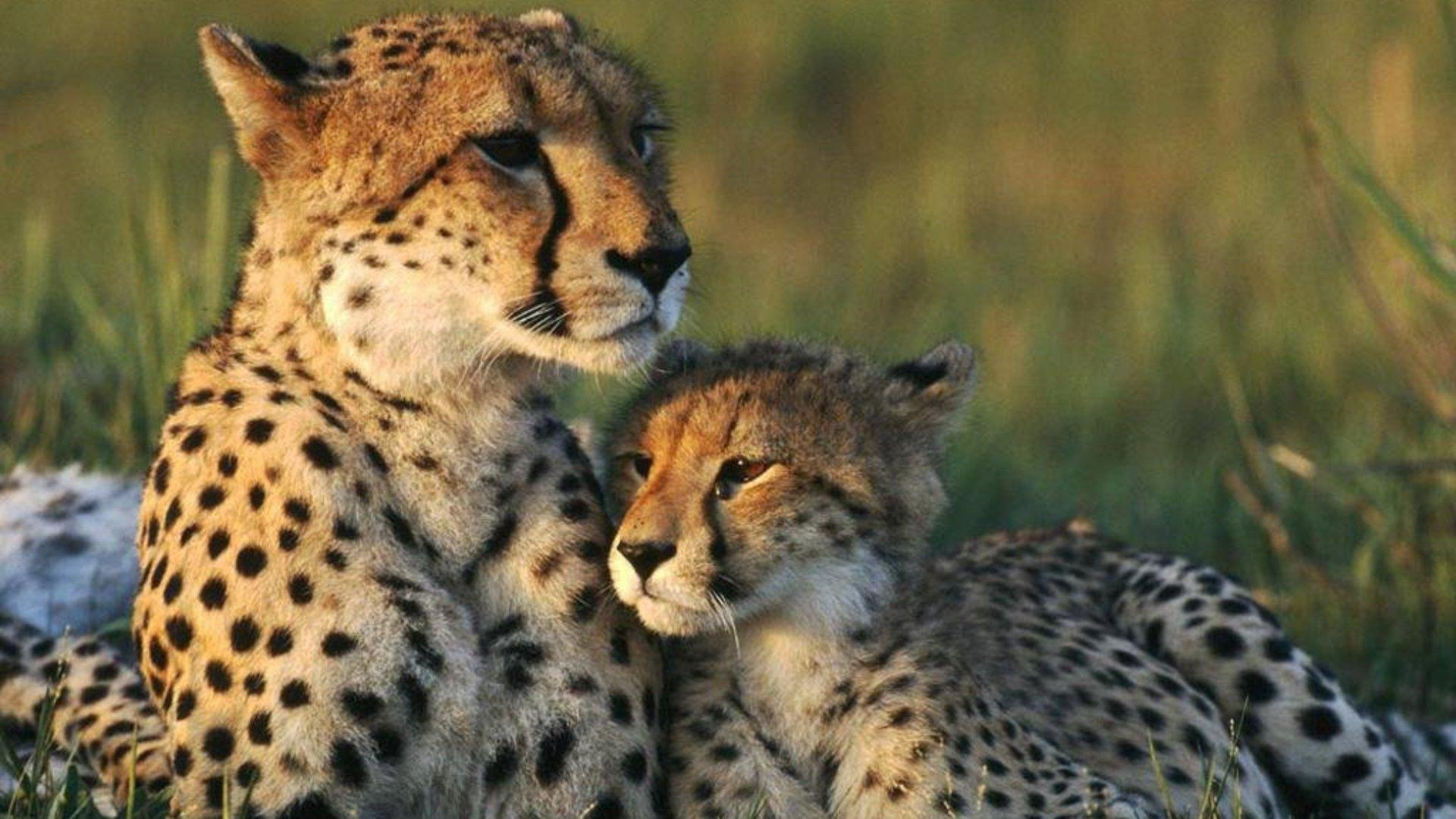 Cheetah HD Wallpapers  Backgrounds  Wallpaper Page  1920x1080