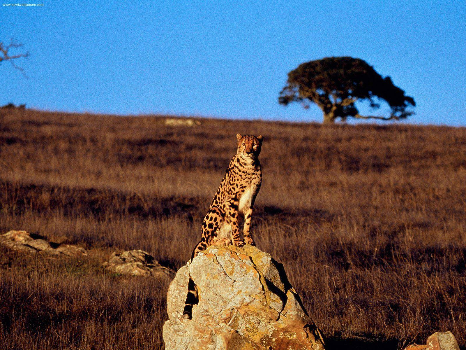 Cheetah Video Running Wallpapers Keyword 1600x1200