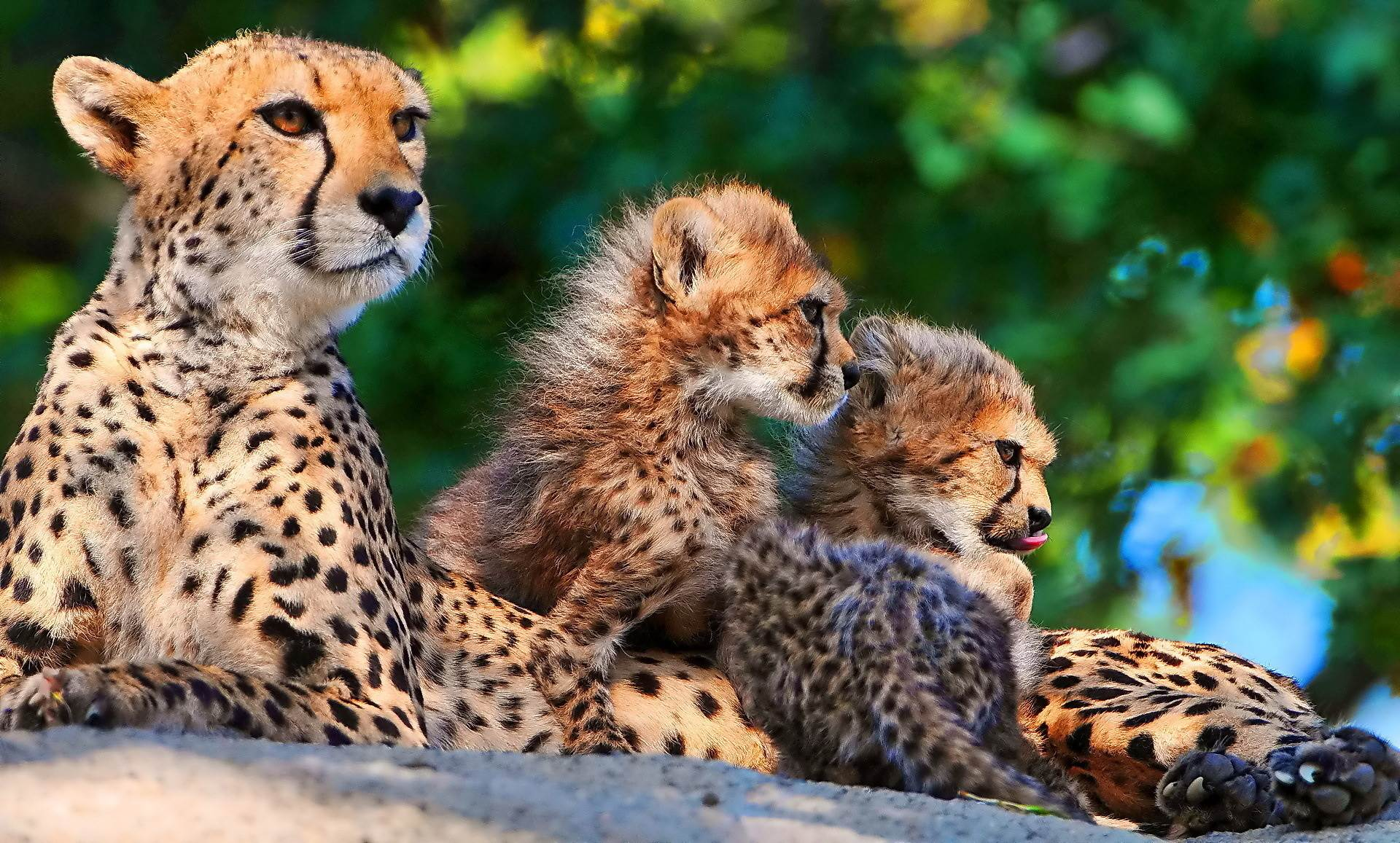 Full HD p Cheetah Wallpapers HD, Desktop Backgrounds  1920x1157