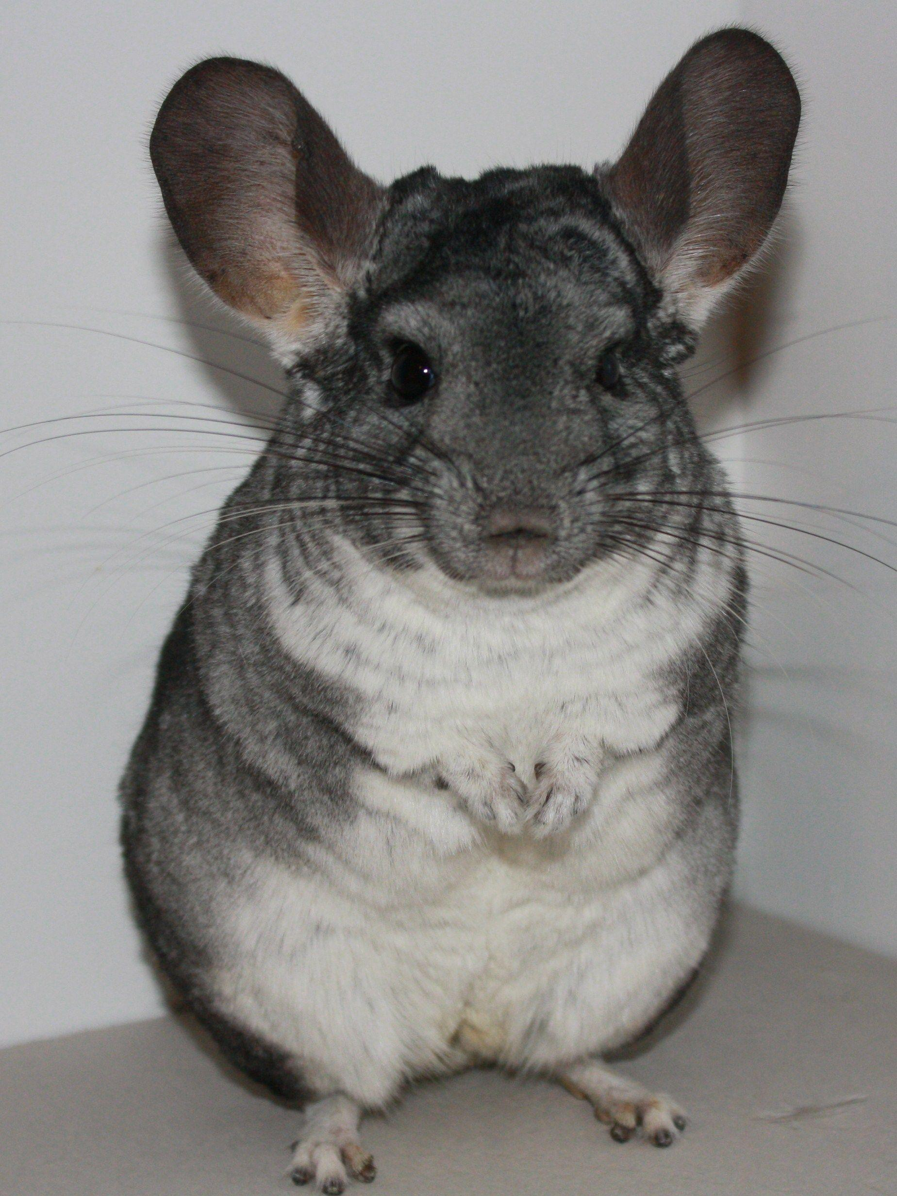 Download Wallpapers x Chinchilla Beautiful Legs Animal