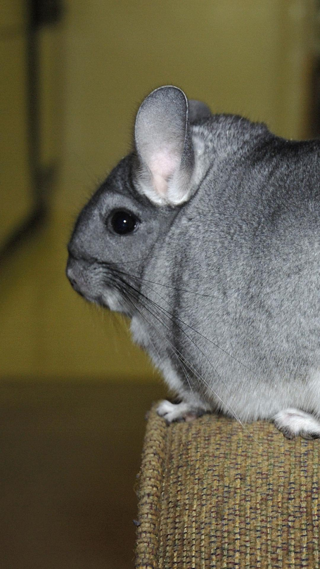 Chinchilla Wallpaper Desktop Find HD ine