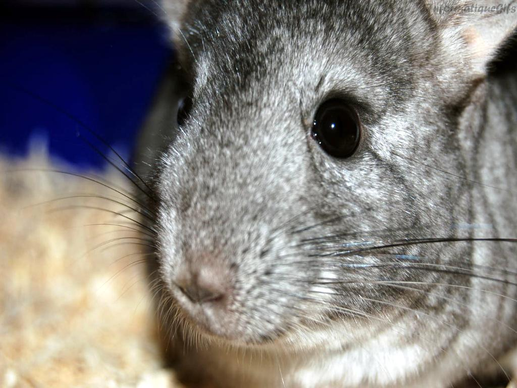 Animals White Chinchilla iPad iPhone HD Wallpaper