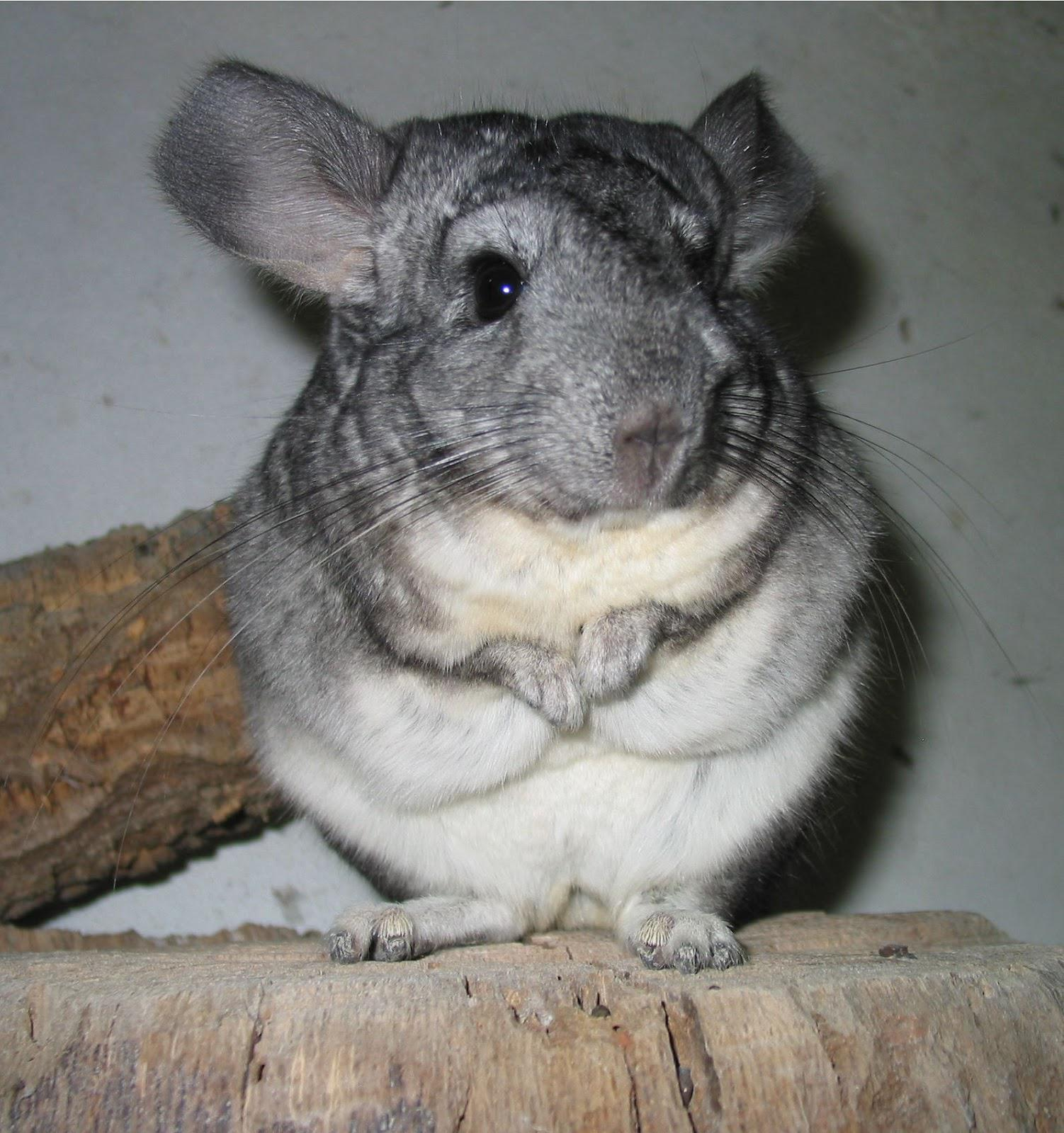 CUTE CHINCHILLA Other Animals Background Wallpapers on Desktop