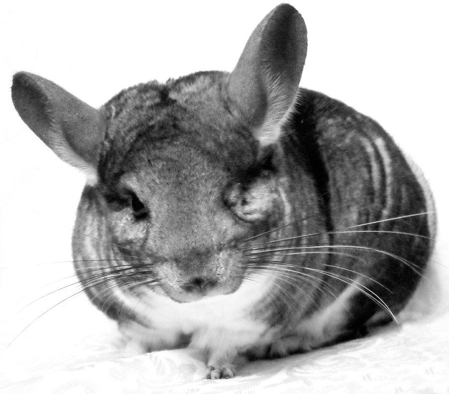 xpx Chinchilla Wallpapers