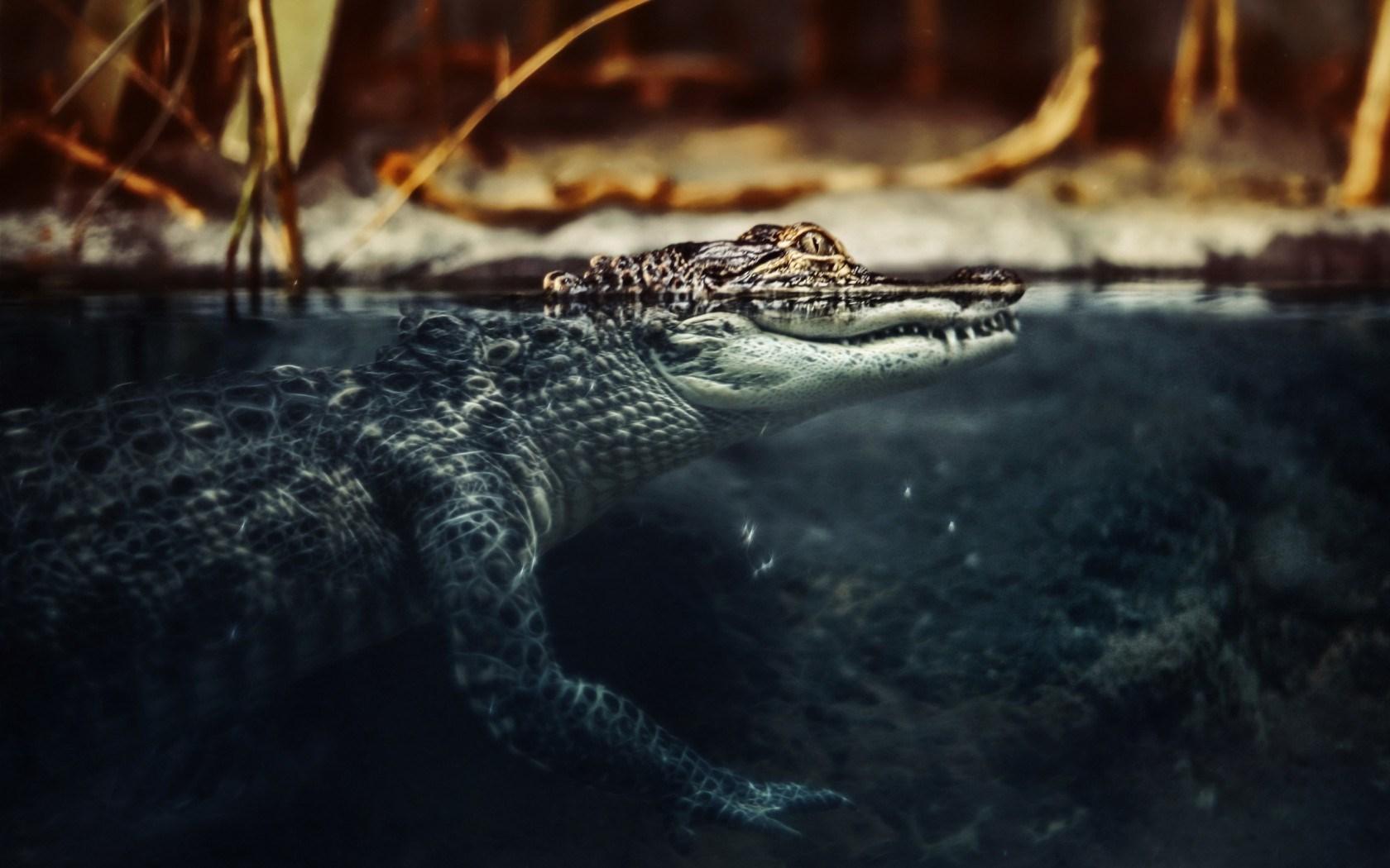 Обои на рабочий стол бесплатно крокодилы