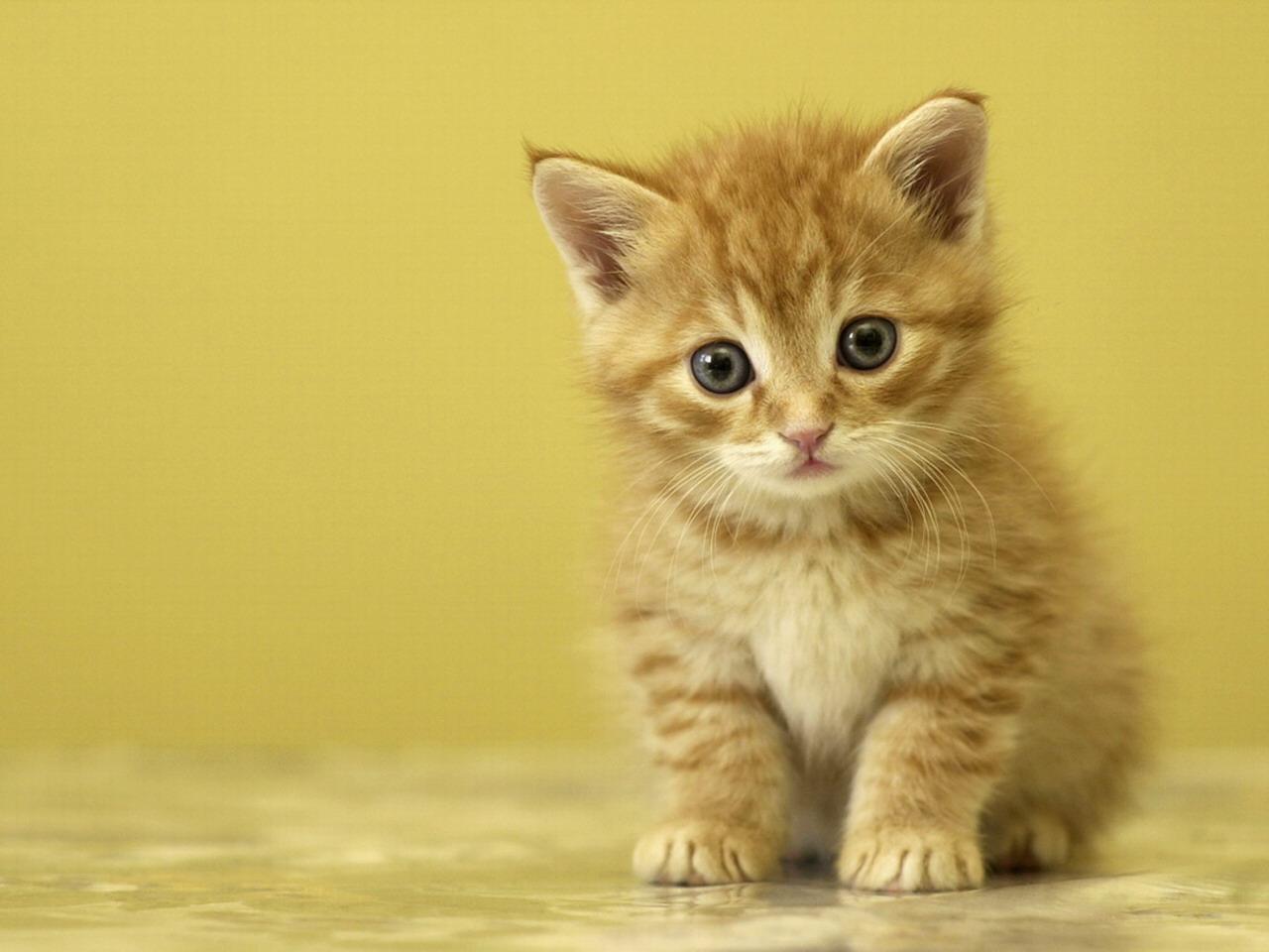 Cute Baby Cats Wallpaper Kolarkoler Com Litle Pups 1280x960