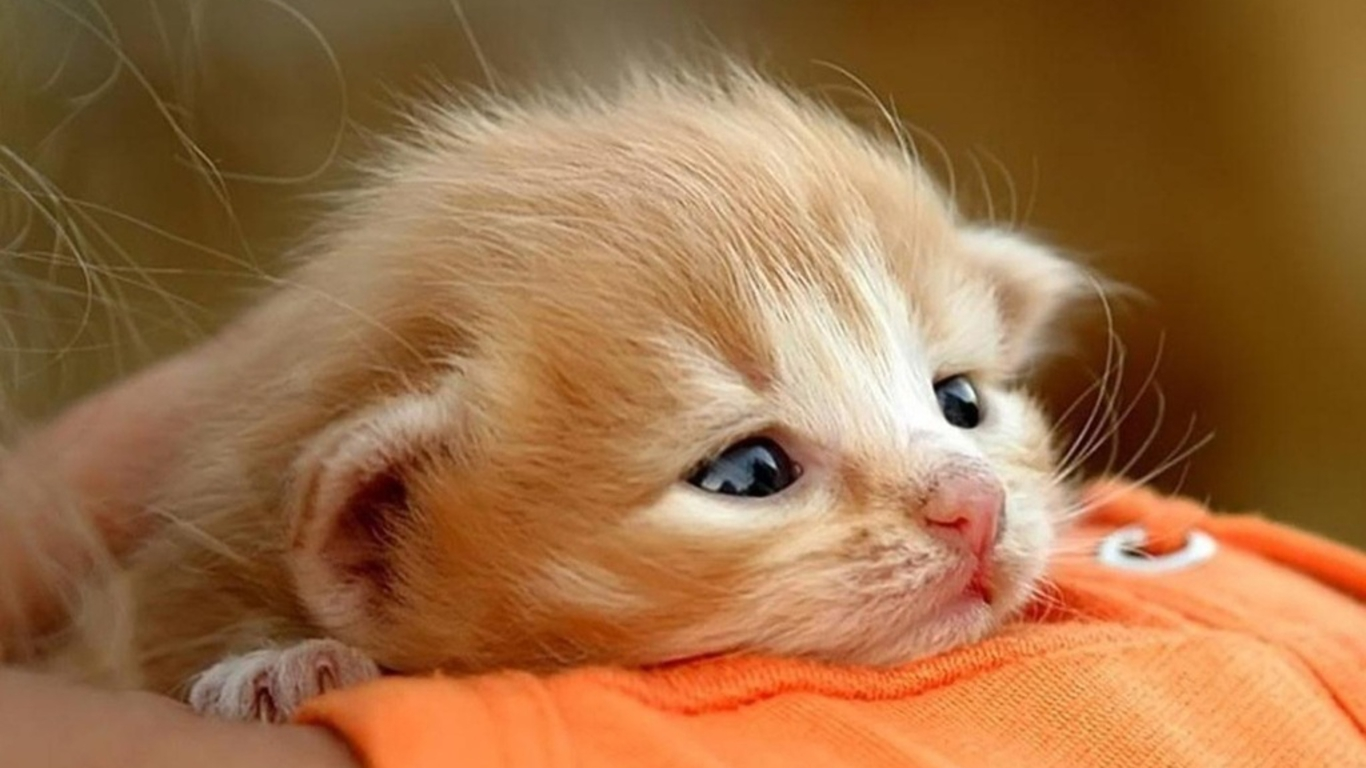 Terms Cute Baby Cats Cute Baby Cats Wallpaper Baby Cat Wallpaper 1366x768