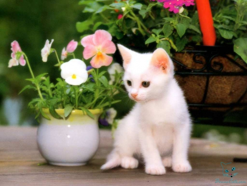 Cute Baby White Cats Wallpaper 819x615