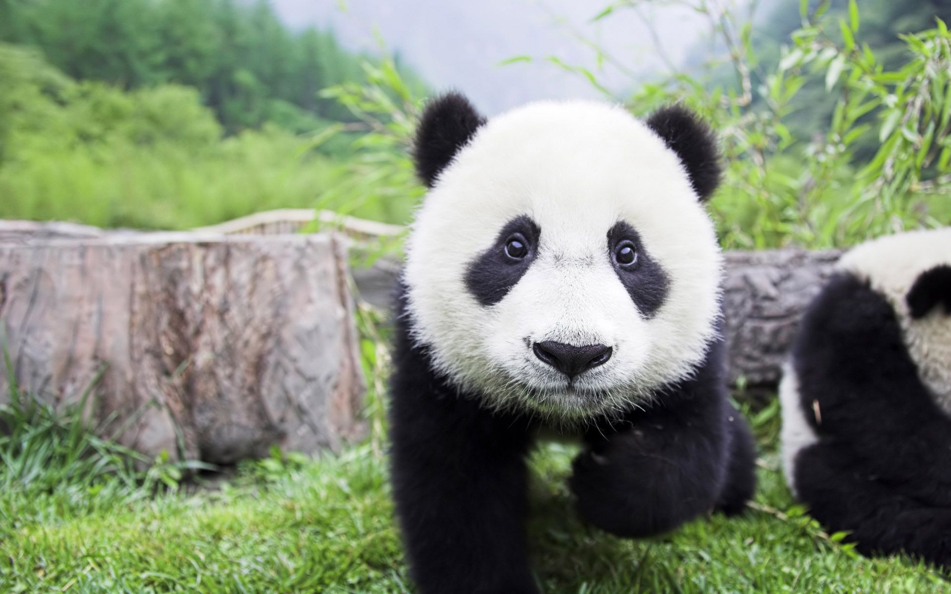 Cute Baby Panda Wallpaper Cute Baby Panda Wallpaper Wallpaper Cute Baby Panda Wallpapers Hd Love Cute Baby For Desktop Pink For 1920x1200