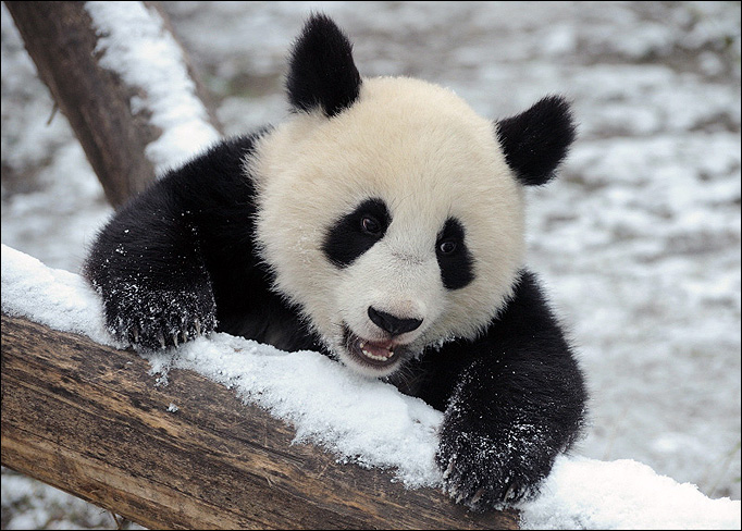 Animal Wallpaper Page Zebumob Cute Baby Panda Wallpapers Picture Animals Timmatic Download