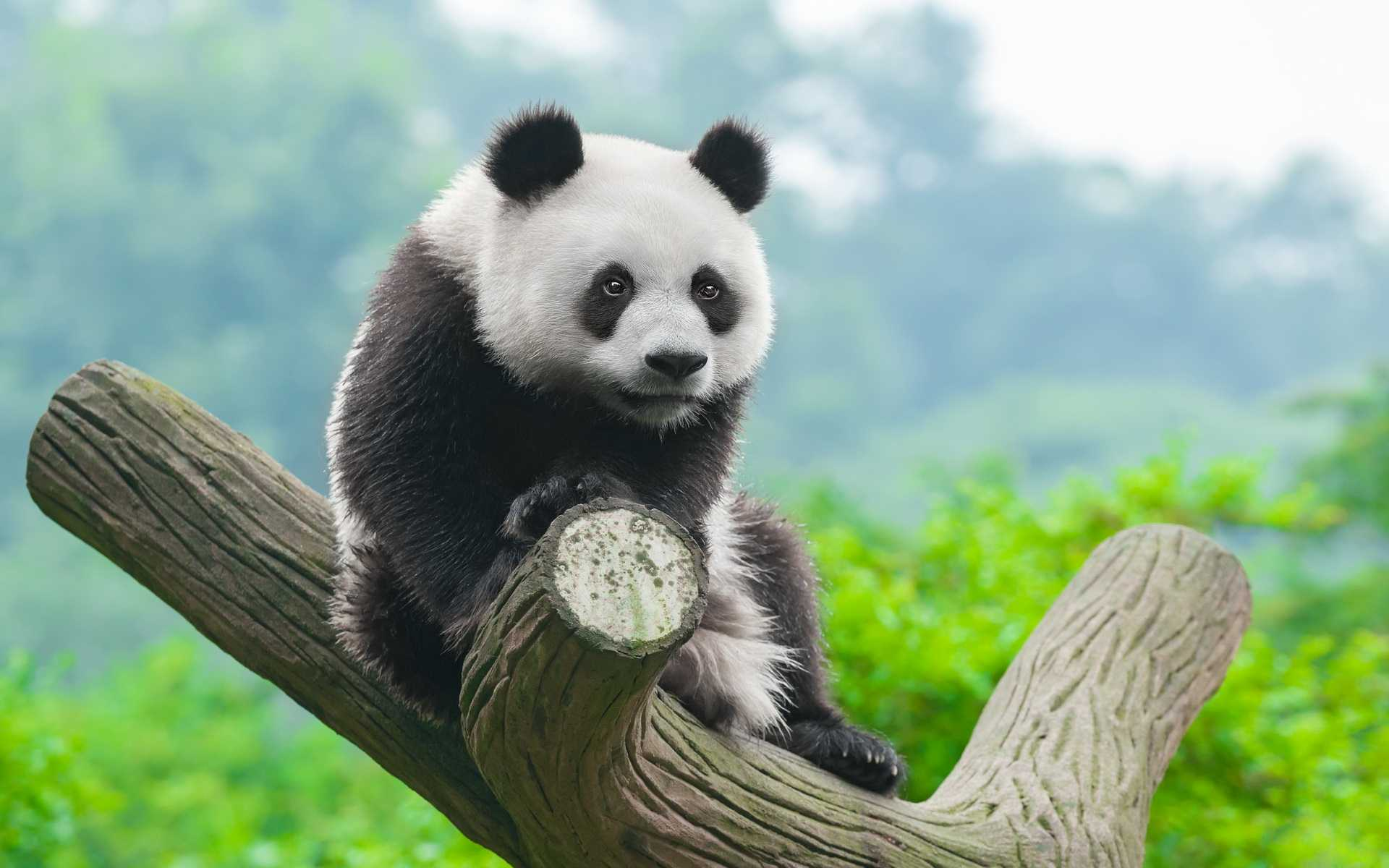 Cute Baby Panda Bear Wallpaper High Definition Iphone In Snow Cute 1920x1200